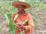 petani-jagung-di-desa-tanjung.jpg