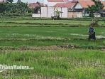 petani-sampang-yang-sedang-merawat-tanamannya-di-sawah.jpg