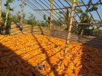 petani-tanggunggung-tengah-menjemur-jagung-hasil-panen.jpg