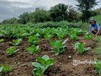 petani-tembakau-di-kecamatan-camplong-sampang1.jpg