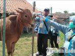 petugas-kesehatan-dinas-peternakan-bangkalan-ngecek-kesehatan-sapi-menjaga-kualitas-daging.jpg