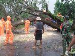 pohon-karet-tumbang-di-bangkalan.jpg