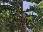 pohon-pisang-bertandan-4.jpg