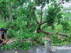 polisi-membersihkan-pohon-tumbang-di-jalan-raya-sumenep-pamekasan-kecamatan-saronggi.jpg