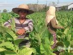 salah-satu-petani-tembakau-sedang-memetik-daunnya-di-desakecamatan-batuan-selasa-392019.jpg