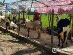 sejumlah-pedagang-hewan-kurban-berupa-kambing-di-kabupaten-sumenep.jpg