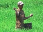 seorang-petani-padi-sedang-menaburkan-pupuk-di-lahannya.jpg