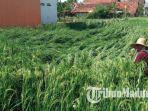 suasana-tanaman-padi-di-desa-kolpajung-kabupaten-pamekasan-rabu-1332019.jpg
