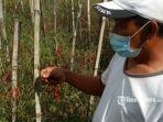 suyono-45-petani-cabai-membiarkan-cabai-merah.jpg