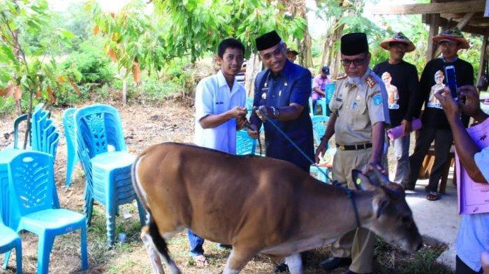 Bupati Luwu Timur Serahkan 500 Sapi di Bangun Jaya, Program Peternakan Menuju Over Target