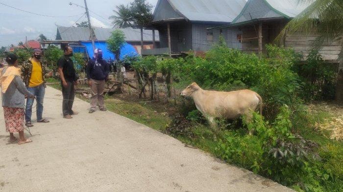 Sapi Warga Pammana Wajo yang Dicuri Ditemukan di Kebun Kelapa