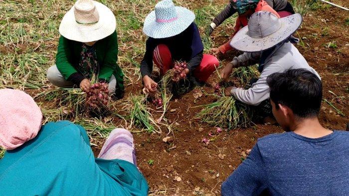 Harga Bawang Merah di Bantaeng Makin Anjlok