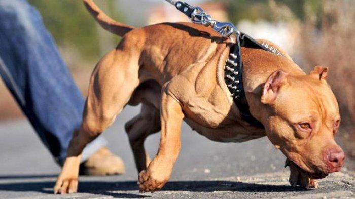 25 Fakta tentang Anjing Pitbull, Baru Saja Terkam Seorang Warga di Makassar hingga Masuk RS