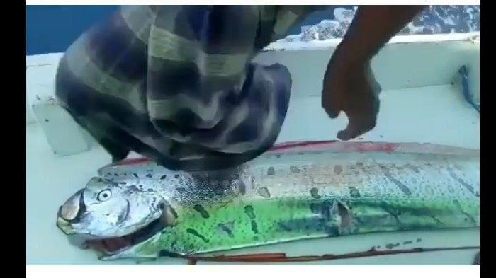 Apa Itu Ikan Oarfish? Sempat Heboh Setelah Ditangkap Nelayan di Selayar, Benarkah Petanda Bencana?