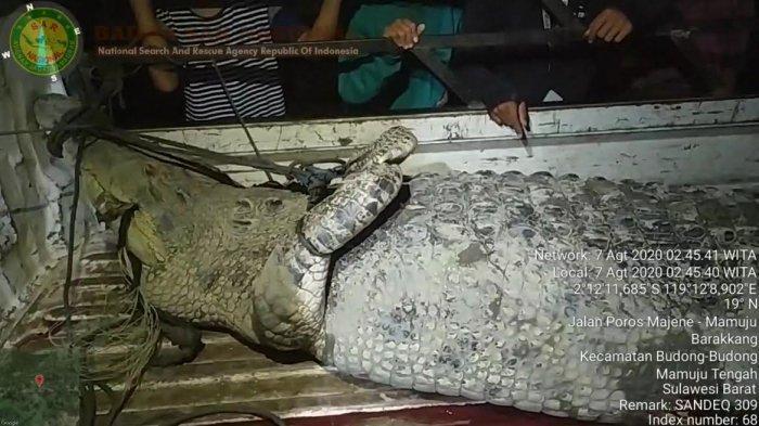 Buaya yang Terkam IRT di Barakkang Mamuju Tengah Berhasil Ditangkap, Panjangnya 4,3 Meter