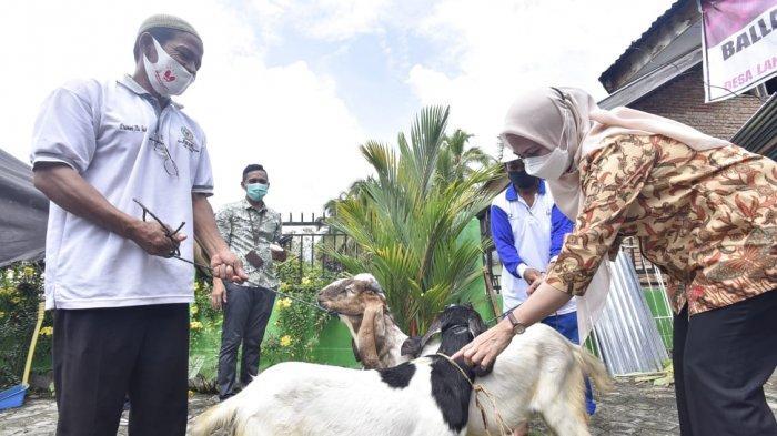 Bupati Luwu Utara Serahkan 46 Ekor Kambing Kepada Warga Desa Lantang Tallang