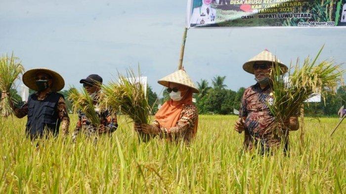 Bupati Luwu Utara Panen Padi di Desa Arusu, Produksi 8,16 Ton Per Hektare