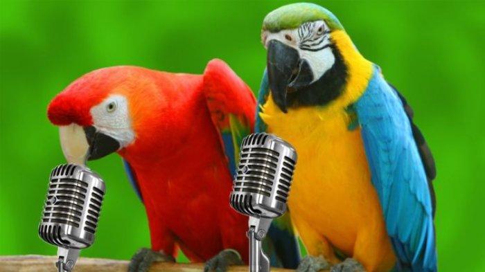 Tips Pelihara Burung Agar Burung Nuri Cepat Bicara Seperti Manusia Beri 6 Makanan Ini Tribun Timur
