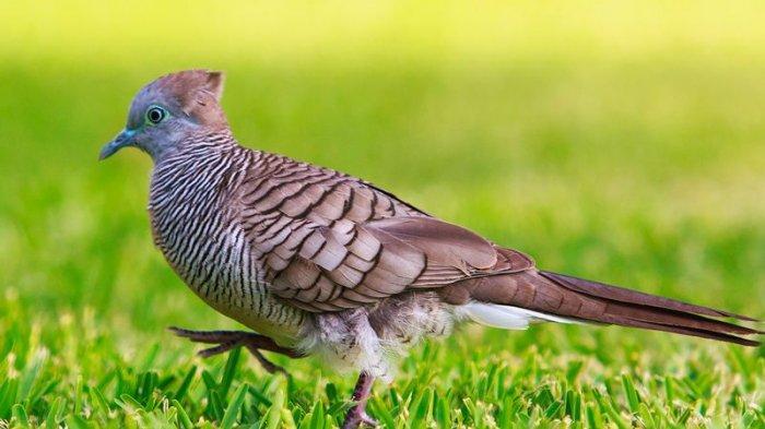 Ini 9 Ciri dan Jenis Burung Perkutut yang Bagus Dipelihara, dari Variasi Suara hingga Songgo Ratu