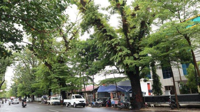 FOTO; Pohon Tua di Jalan Monginsidi Makassar Rawan Tumbang - deretan-pohon-tua-di-jl-monginsidi-makassar-rabu-74-1.jpg