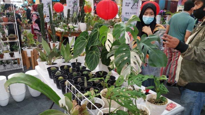Di Jual di TSM Makassar, Bunga Monstera Varegata Harga Rp 18 Juta