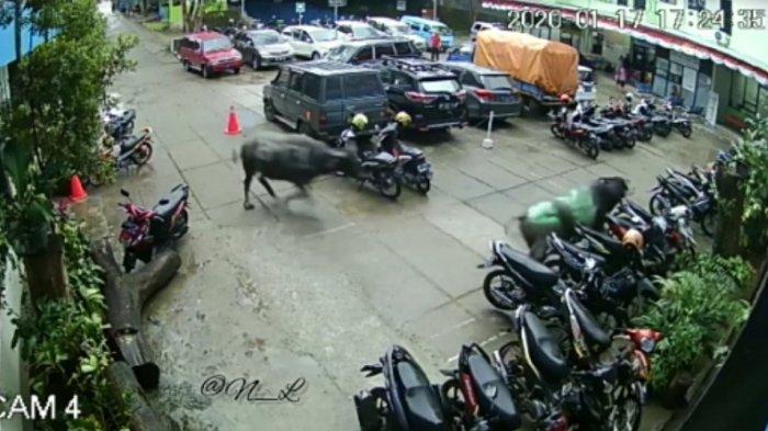 Terekam CCTV, Dua Ekor Kerbau di Toraja Kejar-Kejaran Masuk Area Rumah Sakit
