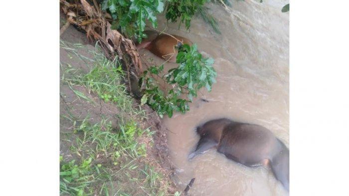 Enam Ekor Sapi Kurban Hanyut di Sungai Bialo Bulukumba