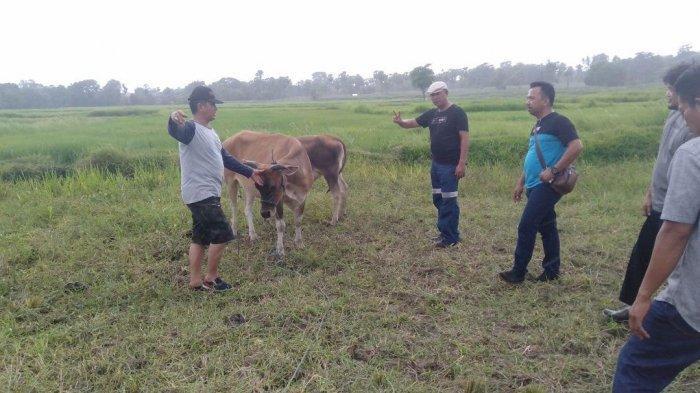 Dua Sapi Warga di Desa Simpursia Wajo Ditemukan di Kabupaten Bone, Diduga Dicuri