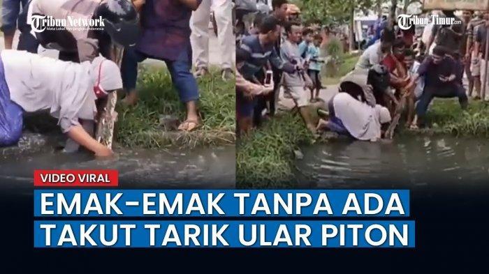 VIDEO Viral Emak-emak Tarik Ular Piton Raksasa dari Dalam Sungai