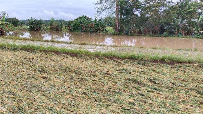 Dampak Banjir di Wajo, Petani Rugi Rp452 Miliar, Padahal Sebentar Lagi Panen