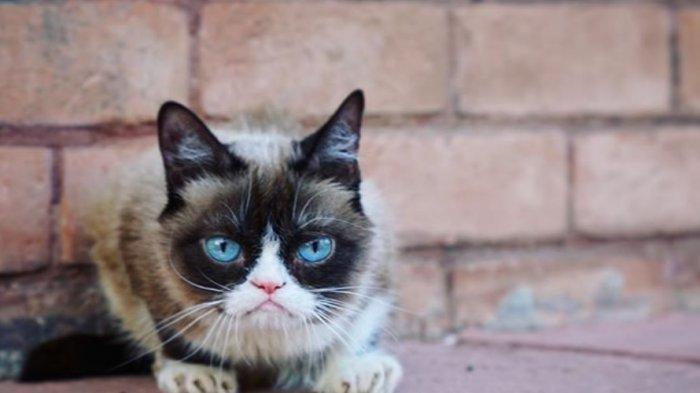 Tribunwiki Dunia Kehilangan Kucing Lucu Grumpy Cat Ini Profilnya Kucing Idola Tribun Timur