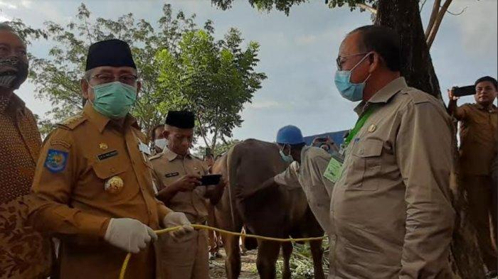 Gubernur Sulbar Serahkan Sapi Kurban Jokowi Seberat 1.2 Ton ke Bupati Pasangkayu
