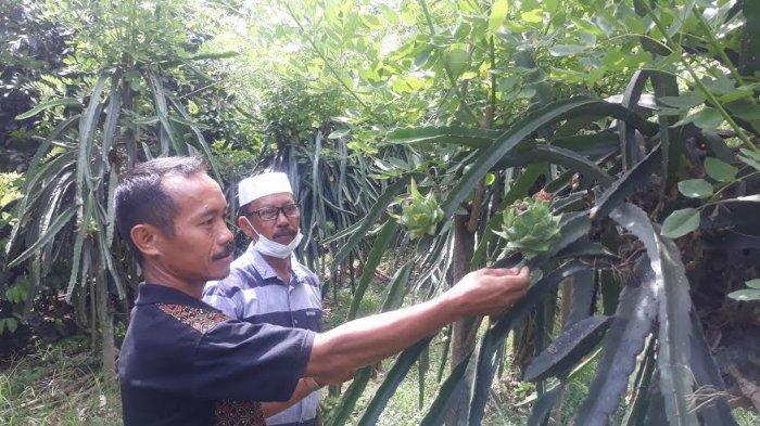 Petani Mengeluh di Sinjai, Tanaman Buah Naga Terserang Penyakit