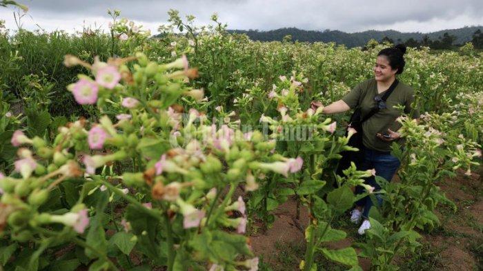 FOTO: Tembakau Sulsel Didorong Pacu Produksi Guna Pasar Ekspor - hamparan-pohon-tembakau-yang-terletak-di-dusun-pattiroang-desa-barania-1.jpg