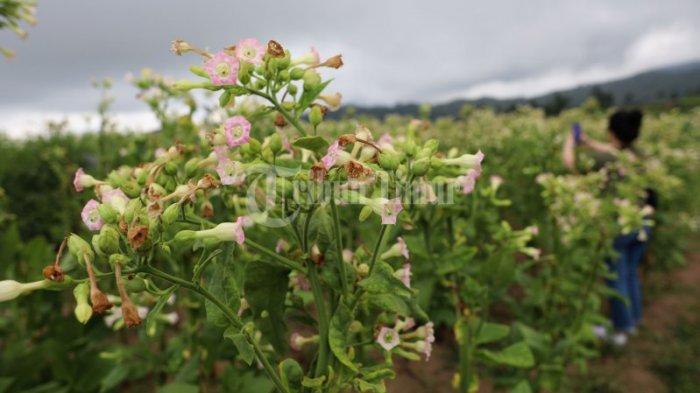 FOTO: Tembakau Sulsel Didorong Pacu Produksi Guna Pasar Ekspor - hamparan-pohon-tembakau-yang-terletak-di-dusun-pattiroang-desa-barania-2.jpg