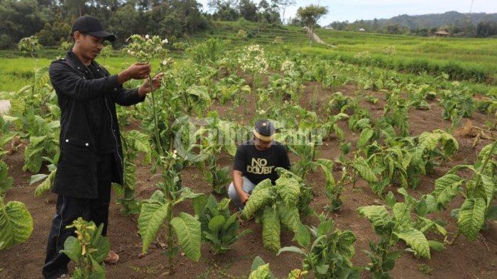 FOTO: Tembakau Sulsel Didorong Pacu Produksi Guna Pasar Ekspor - hamparan-pohon-tembakau-yang-terletak-di-dusun-pattiroang-desa-barania-4.jpg