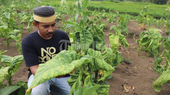 FOTO: Tembakau Sulsel Didorong Pacu Produksi Guna Pasar Ekspor - hamparan-pohon-tembakau-yang-terletak-di-dusun-pattiroang-desa-barania-5.jpg