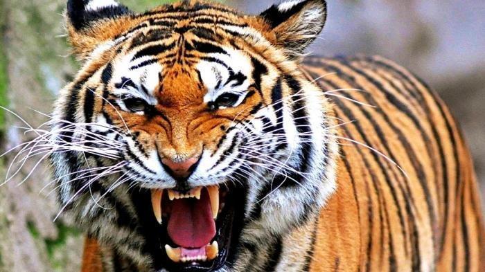 Istri Saksikan Detik-detik Suami Tewas Diterkam Harimau