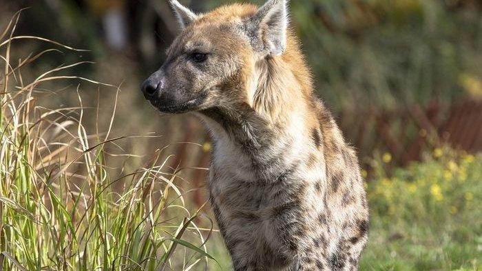 Cara Hyena Mempertahankan Diri