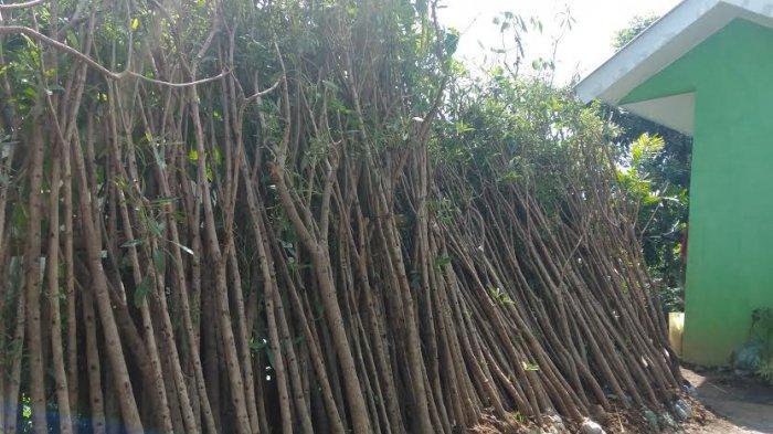 September, Sepanjang Jl Perintis Kemerdekaan Makassar Ditanami Pohon Tabebuya, Mirip Pohon Sakura