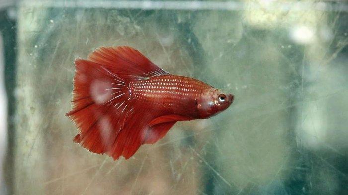 5 Cara Mudah Pelihara Ikan Cupang Avatar Harganya Capai Rp 3 Juta Wadah Yang Pas Hingga Volume Air Tribun Timur