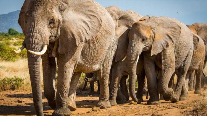 Mengapa Gajah Disebut Takut Sama Tikus?