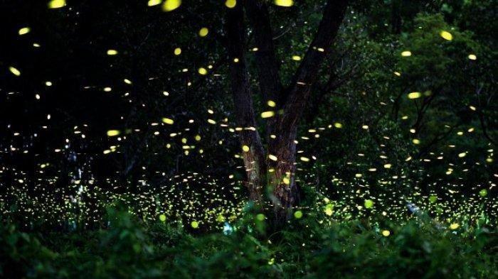 Fungsi Cahaya pada Kunang-kunang Jantan