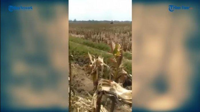 VIDEO: Jagung 2 Hektare Habis Dimakan Tikus Dalam Semalam, Ternyata Ini Penyebabnya
