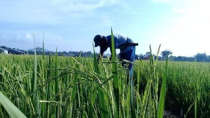 Petani Siap Panen Padi, Komisaris Jenderal Buwas Ungkap Pemerintah akan Impor 1 Juta Ton Beras
