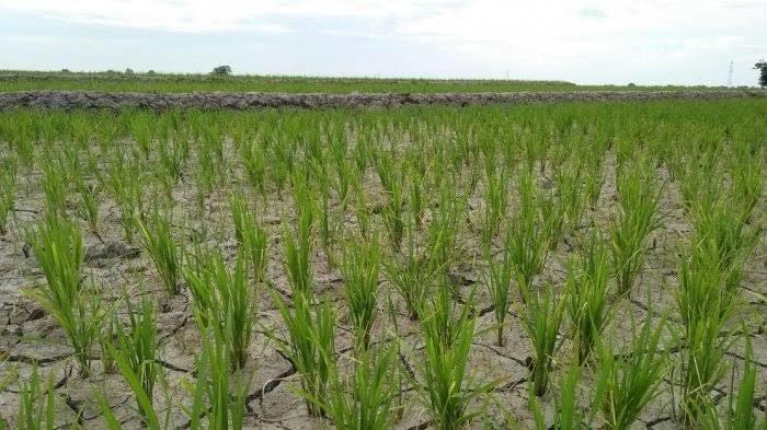 Kekurangan Air, Petani di Baji Areng Bulukumba Terancam Gagal Panen