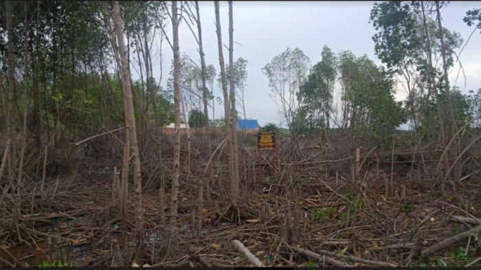 Hutan Bakau di Pelabuhan Bangsalae Siwa Dibabat dan Diklaim Warga, Celakanya Camat Ngaku Tak Tahu