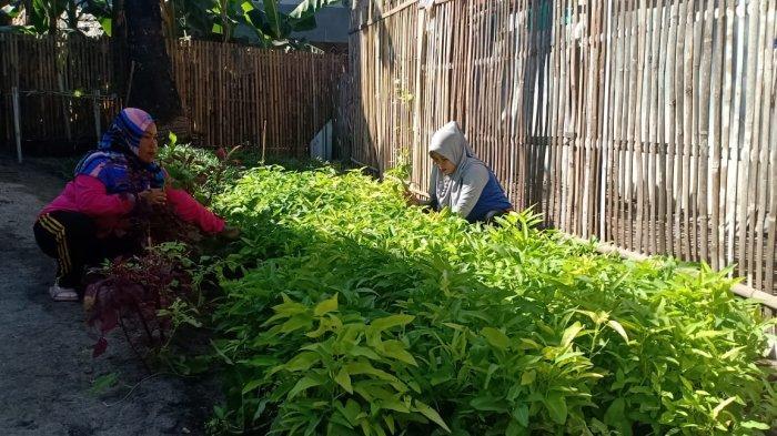 Patut Dicontoh, Desa Mattiro Matae Pangkep Kembangkan Kebun Desa di Pulau