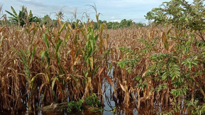 Banjir, 25 Hektar Tanaman Padi di Malangke Barat Lutra Terancam Gagal Panen