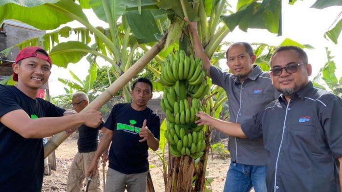 Pisang Sidrap Binaan Syahruddin Alrif Akan Tembus Pasar Jakarta